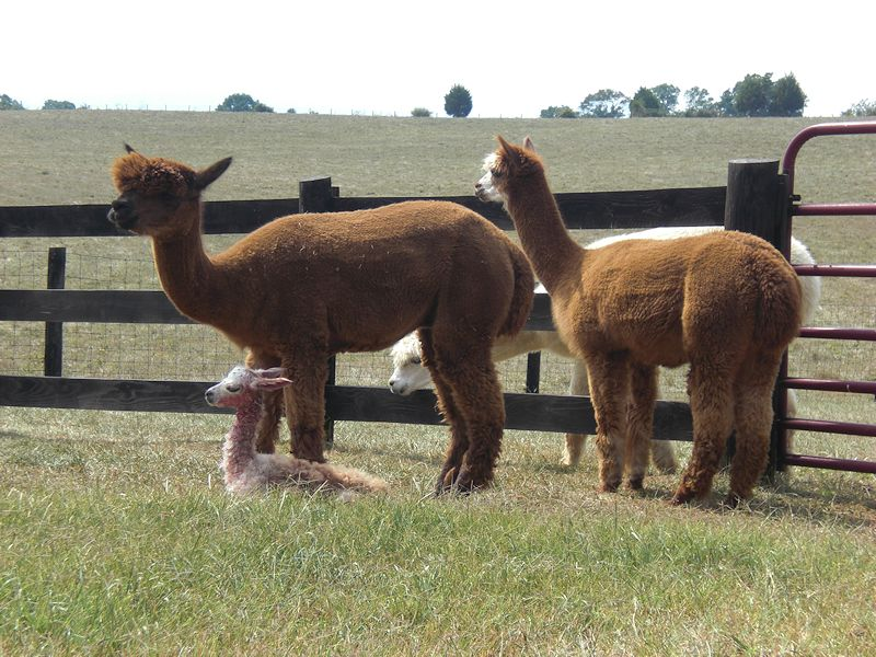 Dreamer, Echo, and day old alpaca - Baby Grand