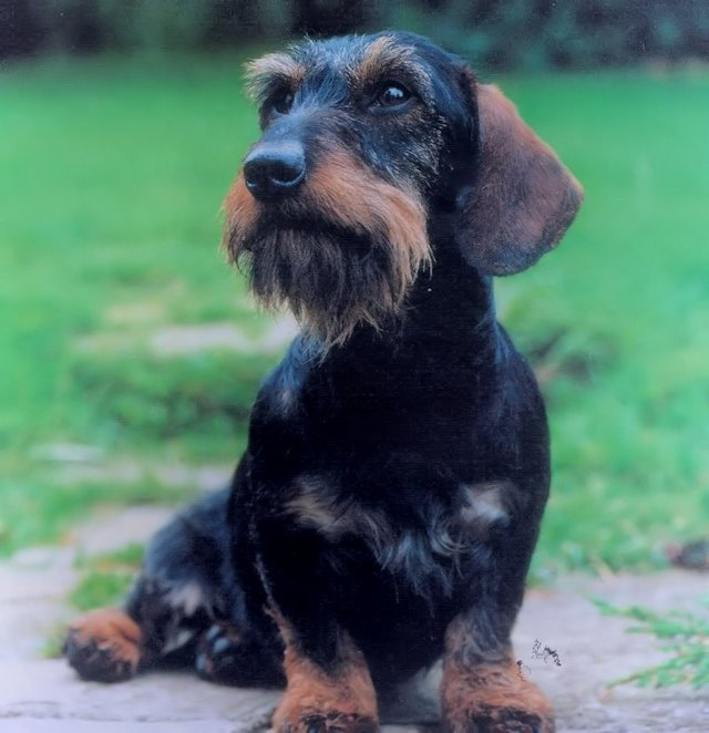 Miniature Dachshund Breeders Uk