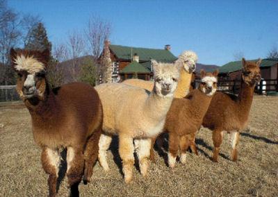 Glen Eagle Farm Alpacas